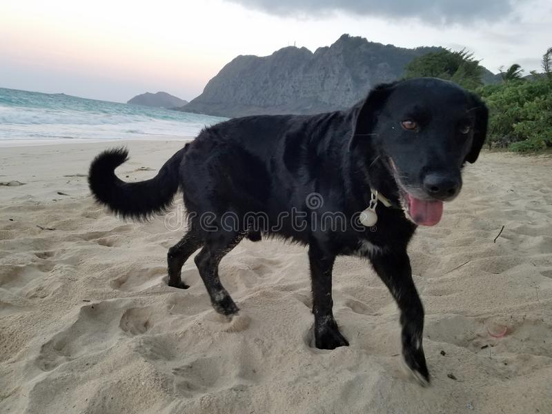 Black retriever Dog with tongue hanging out at at Waimanalo Beach royalty free stock photography