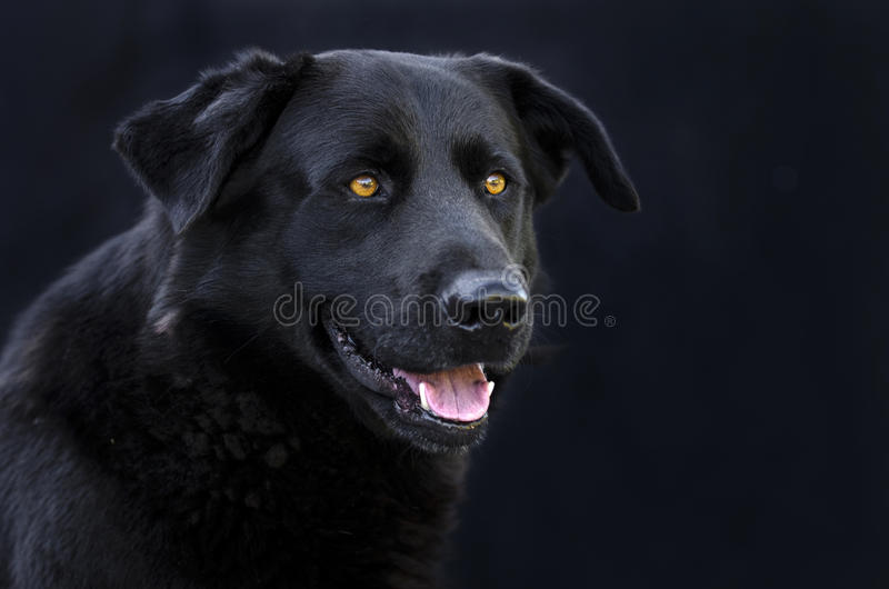 Black Retriever mixed breed dog with yellow eyes. Fluffy male black Retriever mixed breed dog with yellow eyes portrait isolated on black background. Pet royalty free stock image