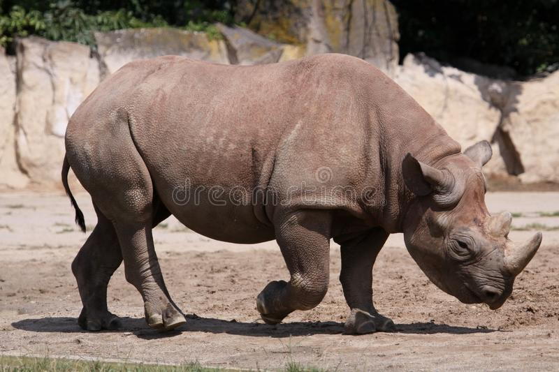 Black rhino. The Black Rhinoceros or Hook-lipped Rhinoceros (Diceros bicornis), also colloquially Black Rhino, is a species of rhinoceros, native to the eastern stock photos