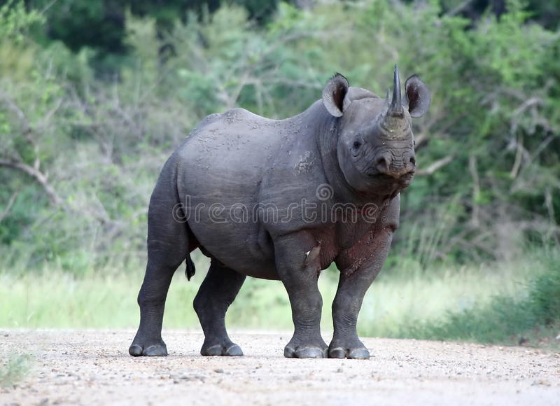 Black Rhino. A dangerous Black Rhino standing in the road royalty free stock photos