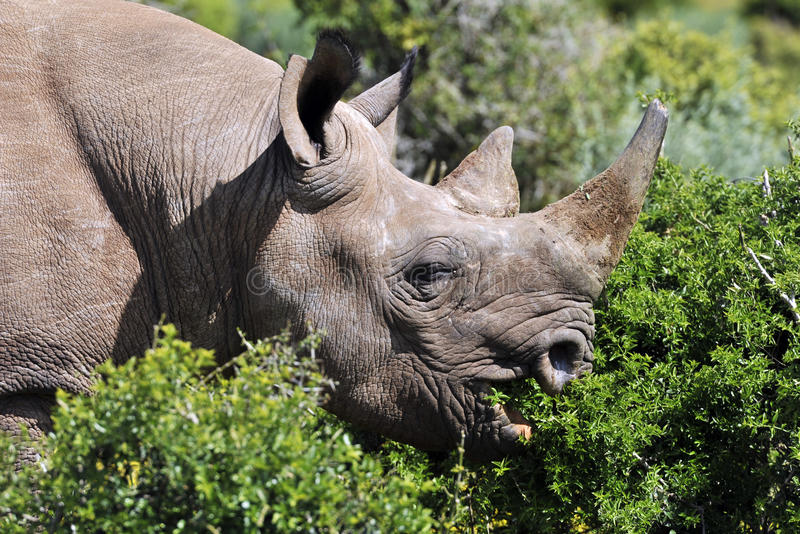 Black rhino. Eating, close-up portrait showing horn and hooked lip stock photos