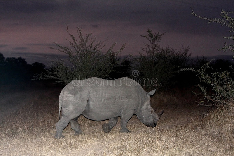 Black Rhino. Photo of a Black Rhino at night in Sabi Sands royalty free stock images