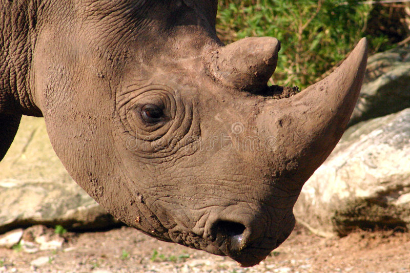 Black Rhino. Close up of black rhino royalty free stock images