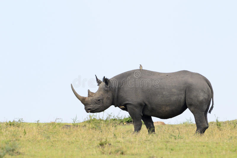 Black Rhino. On African plain, with bird on back stock image