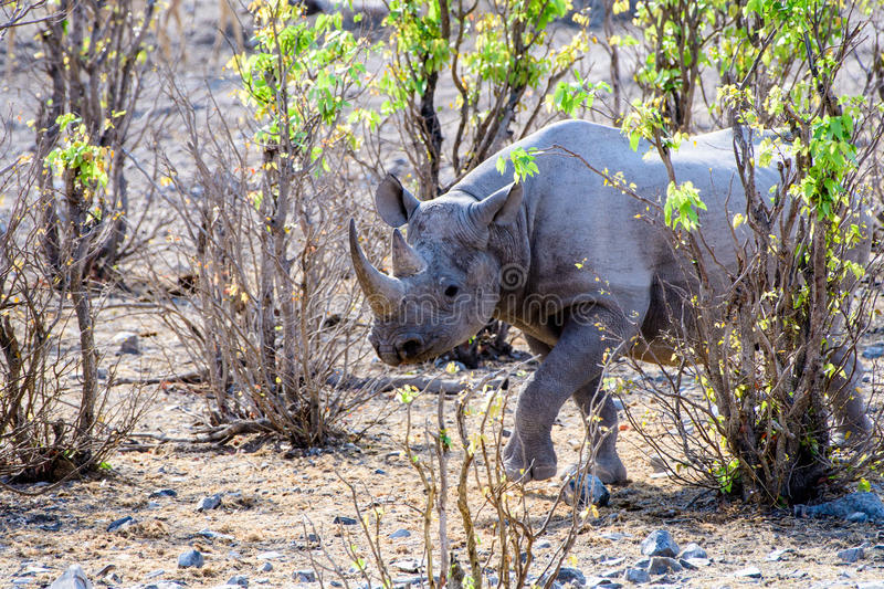 Black rhino approaching. Black rhino emerging from the undergrowth royalty free stock photography