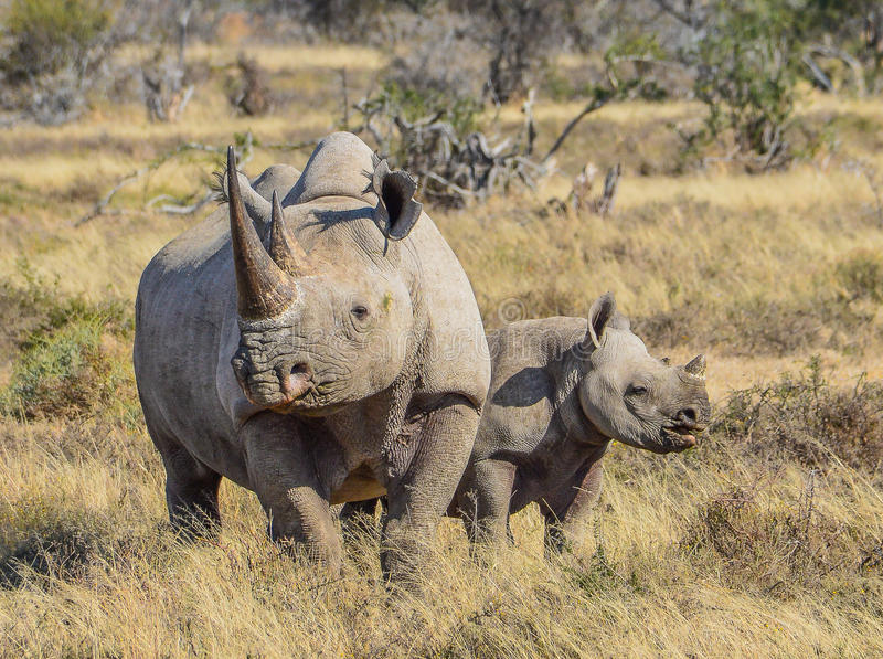 Black Rhino and calf. Black Rhino and 6 month old calf in the Eastern Cape, South Africa royalty free stock image