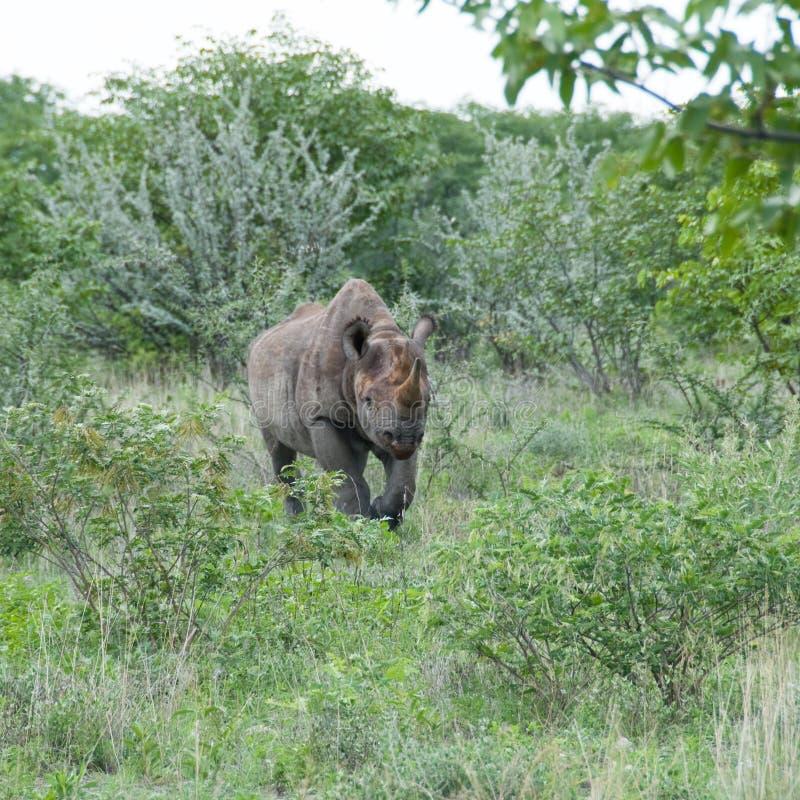 Black Rhino charging, Namibia royalty free stock photo
