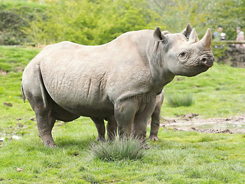 Black Rhino in Chester. ZOO...United Kingdom royalty free stock photos