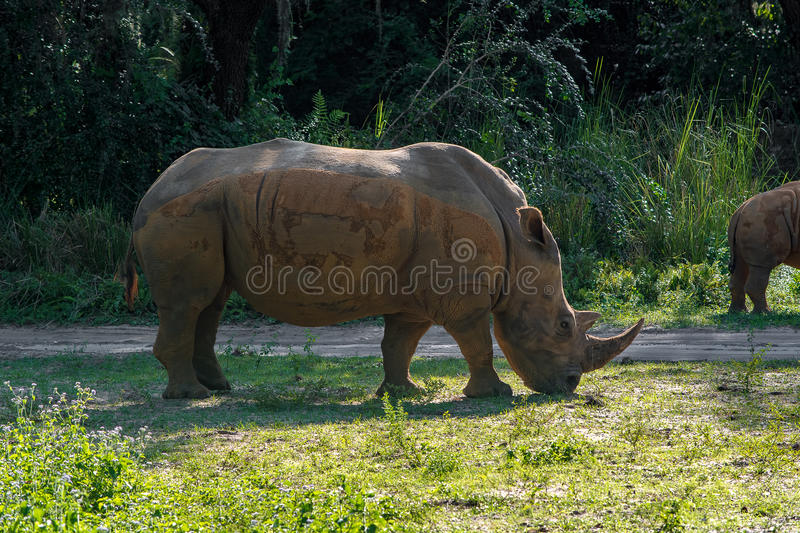 Black Rhino. Eating from the ground royalty free stock photos