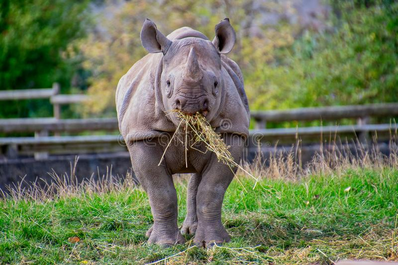 Black Rhino eating some straw. Front on view of a black rhino easting some straw stock image