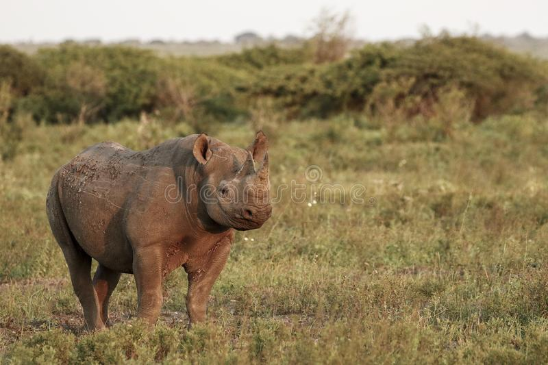 Black Rhino. An endangered black rhino, somewhere in Africa stock photography