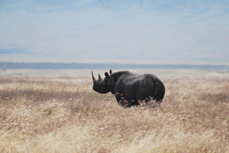 Black Rhino. Endangered black rhino in the Ngorongoro Crater royalty free stock photo