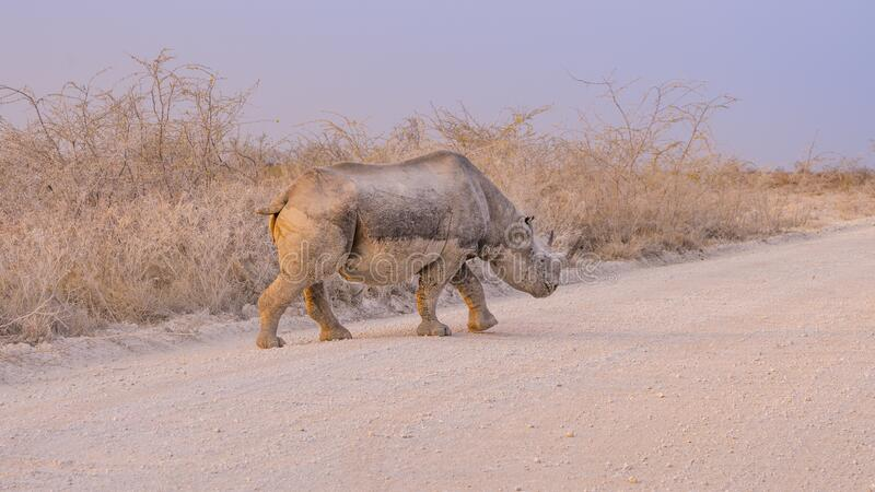 Black rhino in the Etosha National Park in Namibia. royalty free stock photography