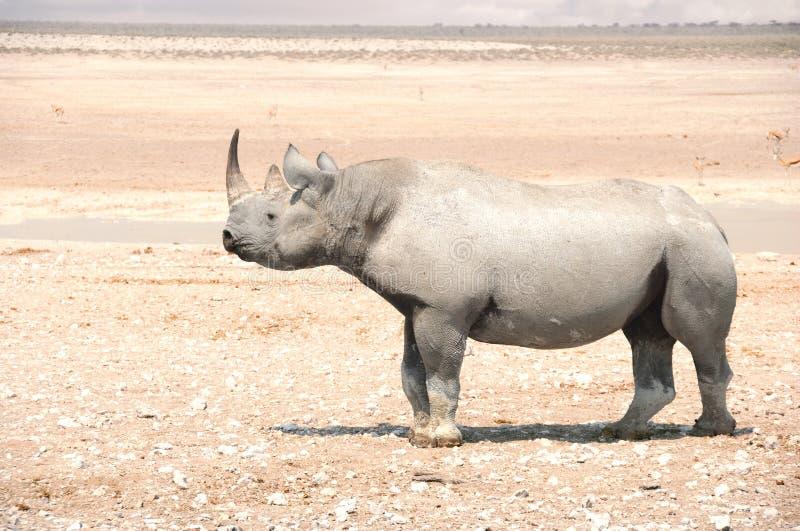Black Rhino - Etosha National Park stock photo