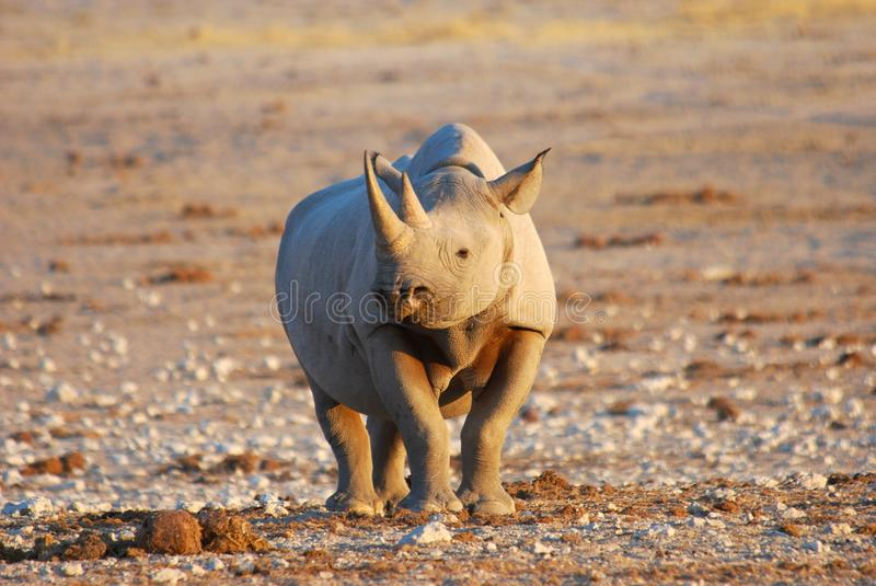 Black Rhino Female. Taken at sunset at Etosha, Namibia royalty free stock image