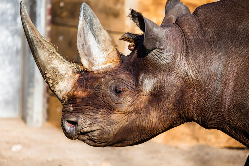 Black rhino head. Over blurred background royalty free stock image