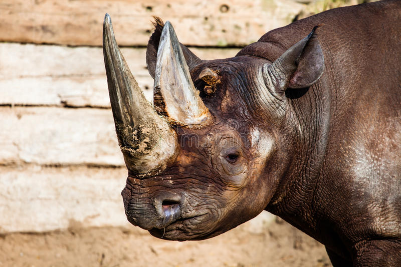 Black rhino head. Over blurred background royalty free stock photo
