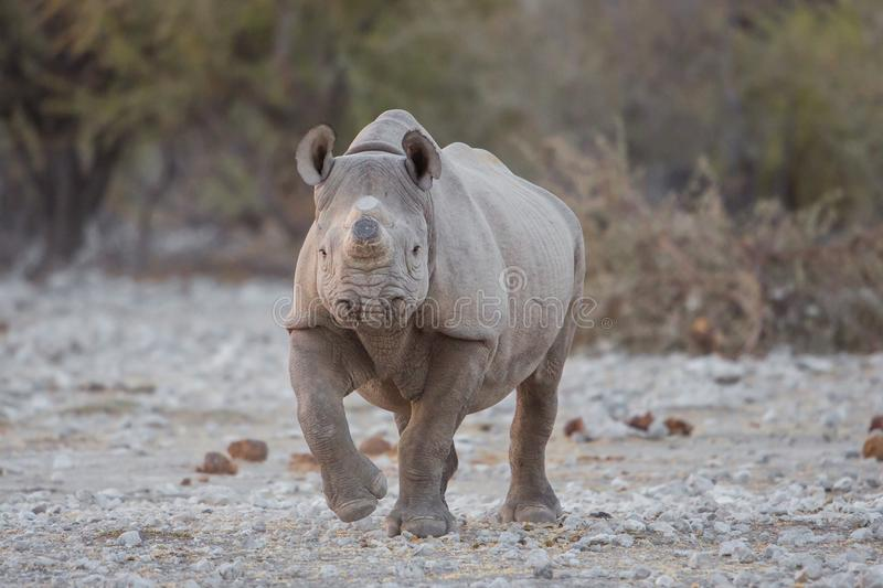Black rhino with horn removed to prevent poaching. Etosha National Park, Namibia stock photography