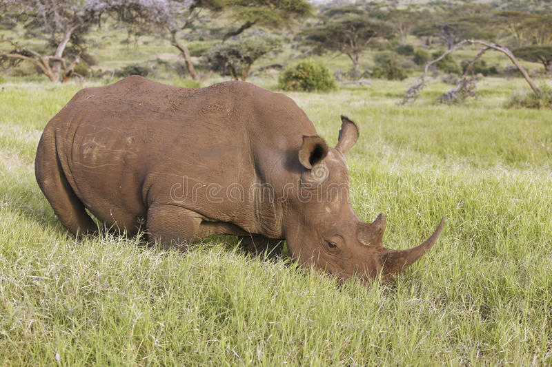 Black rhino in Lewa Conservancy, Kenya, Africa grazing on grass royalty free stock photo