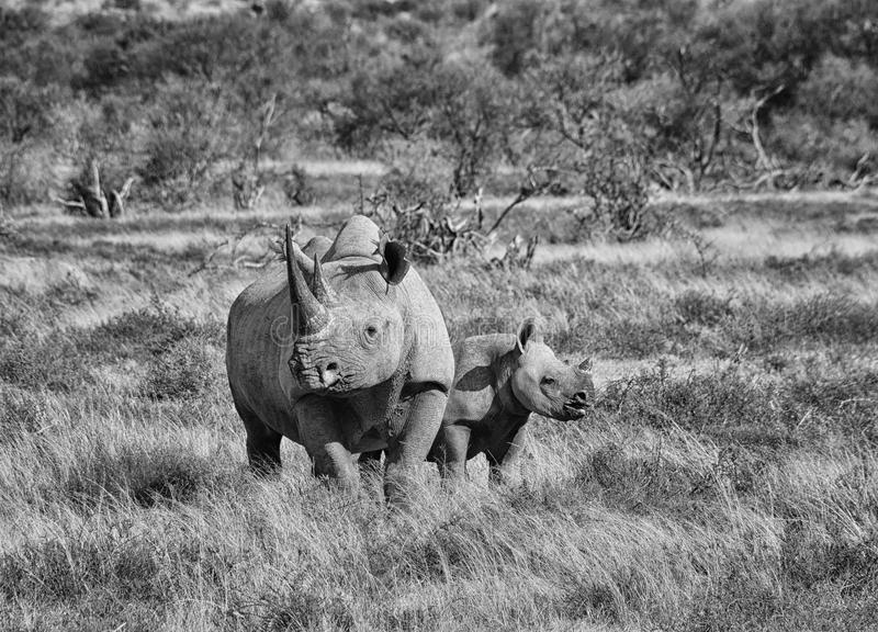 Black Rhino mother and calf. A Black Rhino mother and her 6 month olf calf in Southern African savanna stock photos