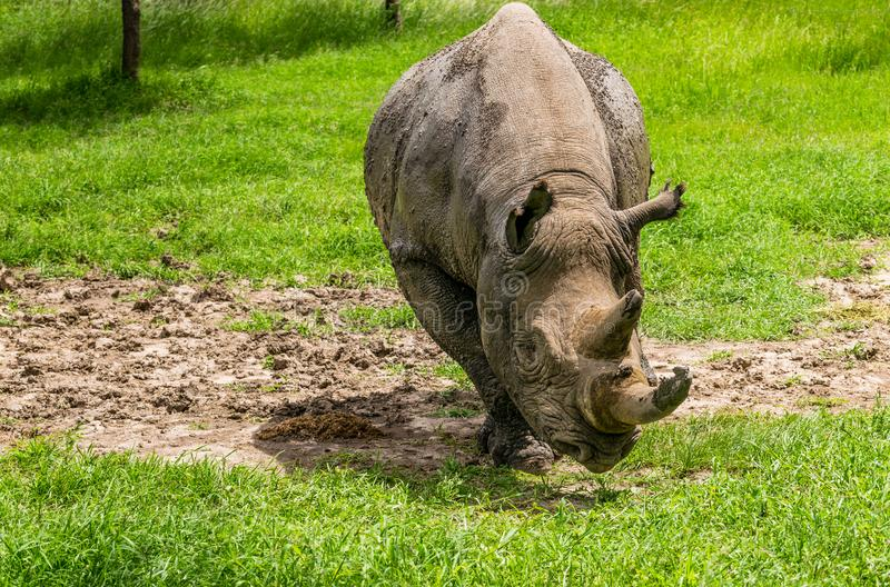 Black Rhino. A black rhino at the park royalty free stock images