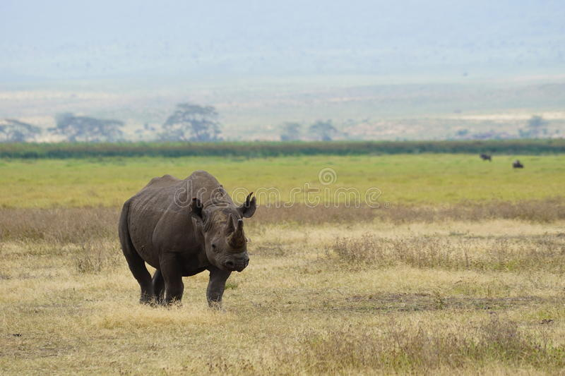 Black rhino. Spotted in Ngorongoro crater, Tanzania stock photography