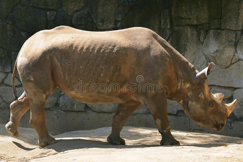 Black rhino. Ueno Zoo - Tokyo , Japan : Close up of black rhino stock photography