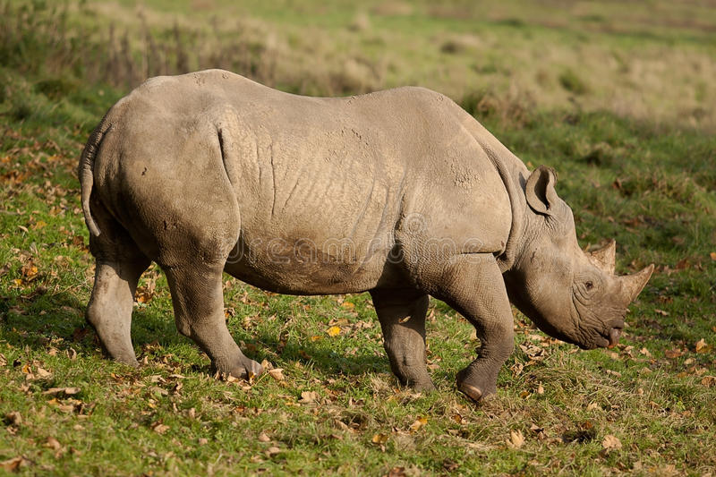Black rhino walking in sun shine. Photo of a Black rhino walking in sun shine stock images