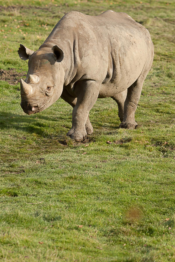 Black Rhino walking in sunshine. Photo of a Black Rhino walking in sunshine royalty free stock image