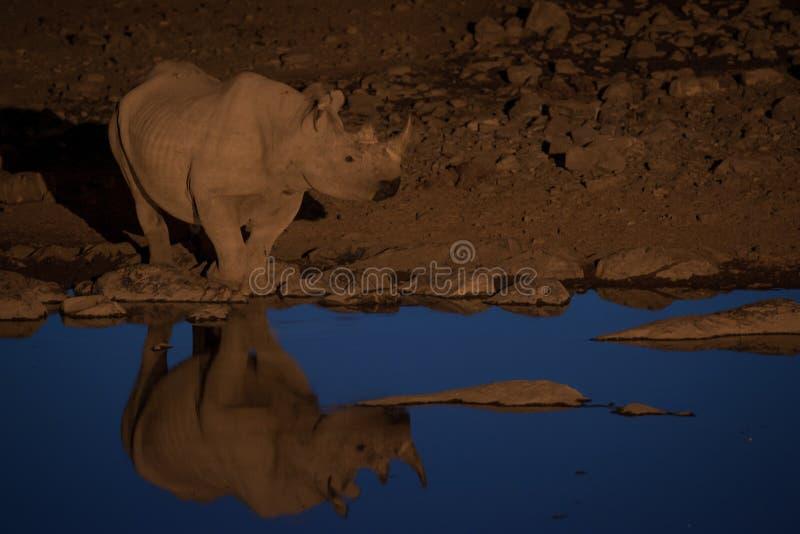 Black rhino at the watering hole, Etosha National Park, Namibia stock photo