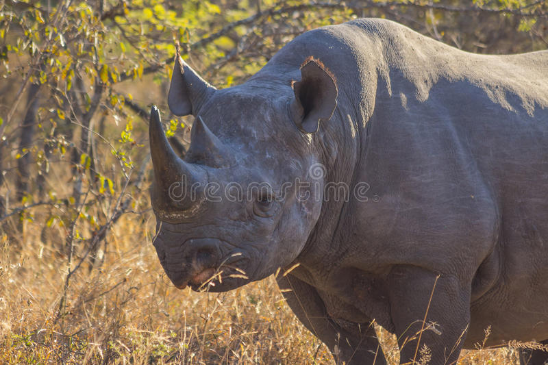 Black rhino in the wild 11. Black rhino in the wild royalty free stock images