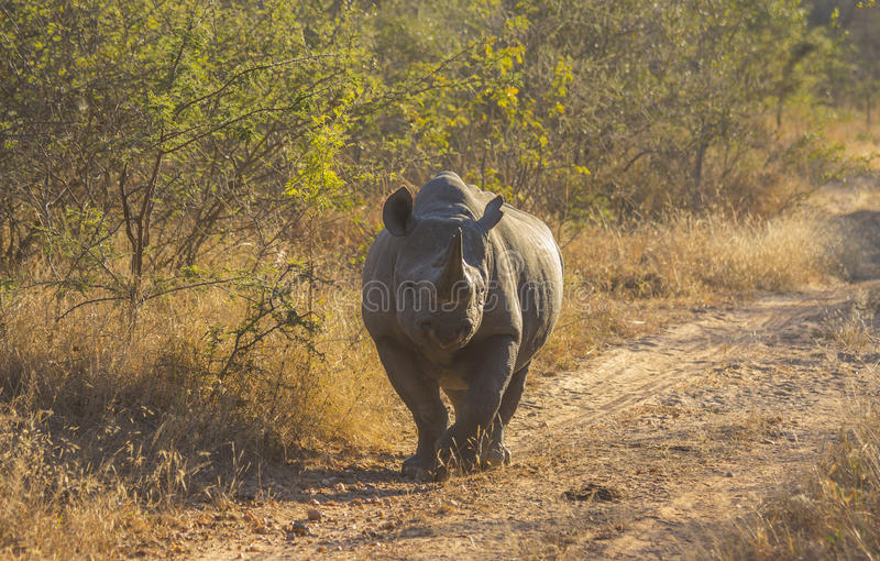 Black rhino in the wild 6. Black rhino in the wild stock image