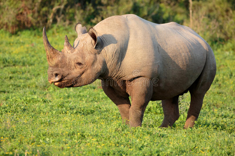 Black Rhino. Wild Black Rhino with hooked lip in South Africa royalty free stock images