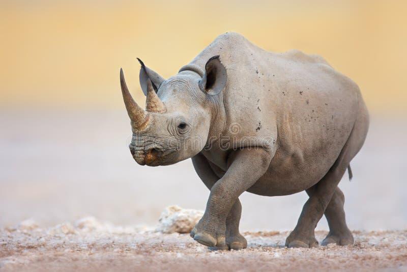 Black Rhinoceros. Walking on salty plains of Etosha