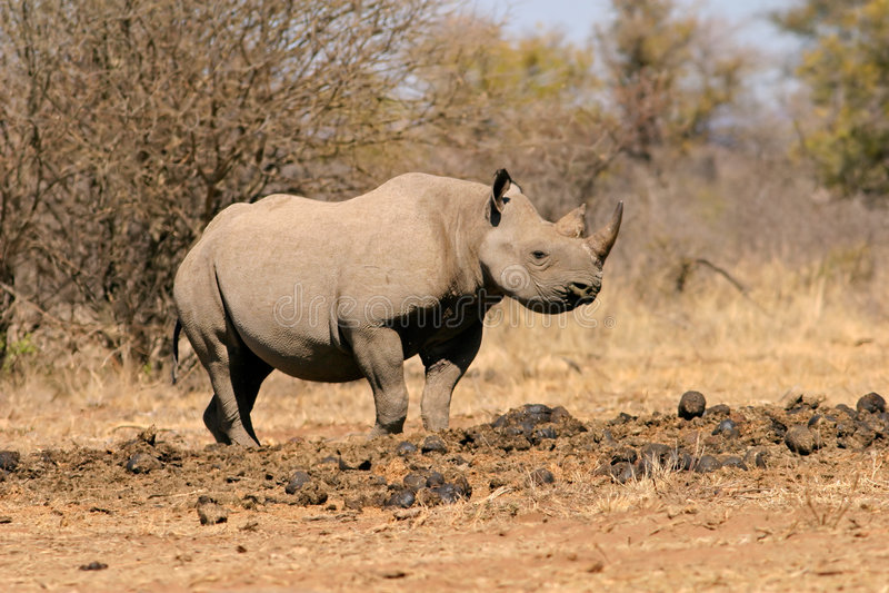 Black rhinoceros. A black (hooked-lipped) rhinoceros (Diceros bicornis), South Africa stock photos