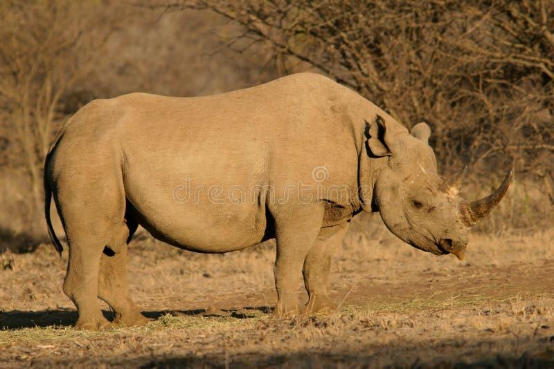 Black rhinoceros. A black (hooked-lipped) rhinoceros (Diceros bicornis), South Africa royalty free stock photo