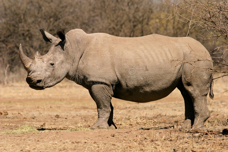 Download Black rhinoceros stock photo. Image of south, powerful - 6832072