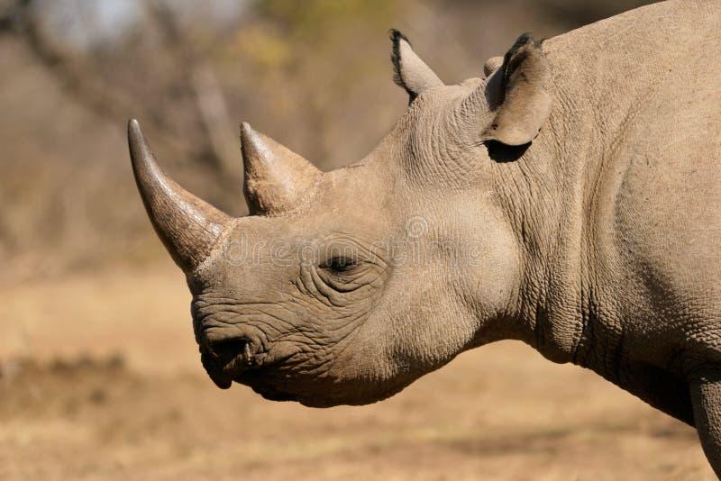 Black rhinoceros. Portrait of a black (hooked-lipped) rhinoceros (Diceros bicornis), South Africa stock image