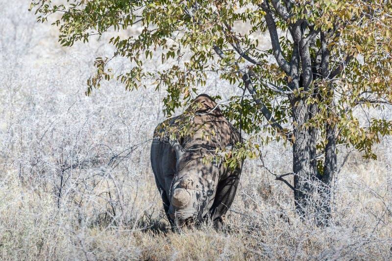 Black Rhinoceros Browsing under a tree. A black Rhinoceros - Diceros bicornis- eating scrubs on the plains of etosha national park, Namibia royalty free stock photography