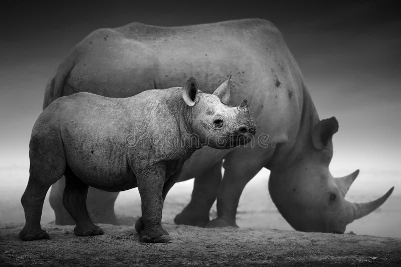 Black Rhinoceros calf and cow. Black Rhinoceros calf (Diceros bicornis) standing with cow at a waterhole - Etosha National Park (Digitally enhanced stock photography