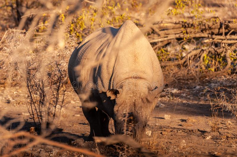 A black Rhinoceros Browsing in the Bushes of Etosha. A black Rhinoceros - Diceros bicornis- eating scrubs on the plains of Etosha national park, Namibia, during royalty free stock photography