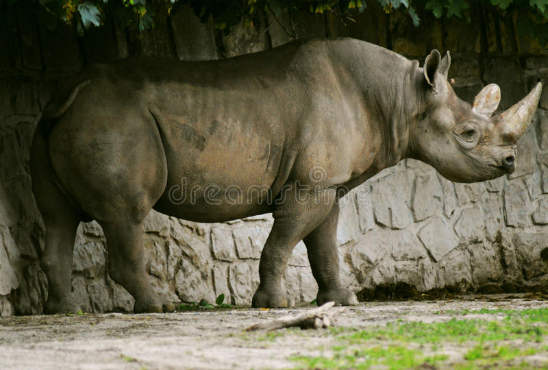 Black rhinoceros (Diceros bicornis) royalty free stock photography