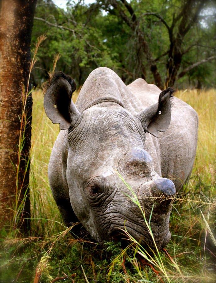 Black Rhinoceros. (hook-lipped rhinoceros) grazing at a wildlife sanctuary in Tanzania, Africa stock image
