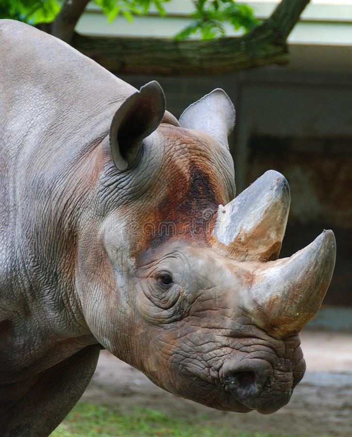 The black rhinoceros or hook-lipped rhinoceros. Diceros bicornis, is a species of rhinoceros, native to the eastern and central areas of Africa stock images