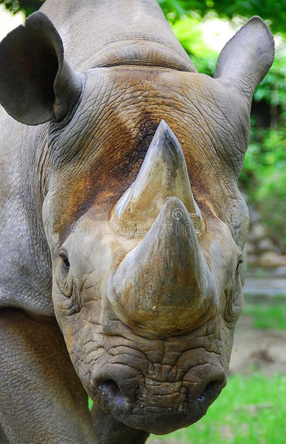 The black rhinoceros or hook-lipped rhinoceros. Diceros bicornis, is a species of rhinoceros, native to the eastern and central areas of Africa stock photos
