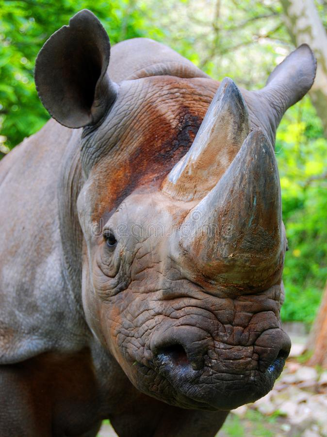 The black rhinoceros or hook-lipped rhinoceros. Diceros bicornis, is a species of rhinoceros, native to the eastern and central areas of Africa royalty free stock image
