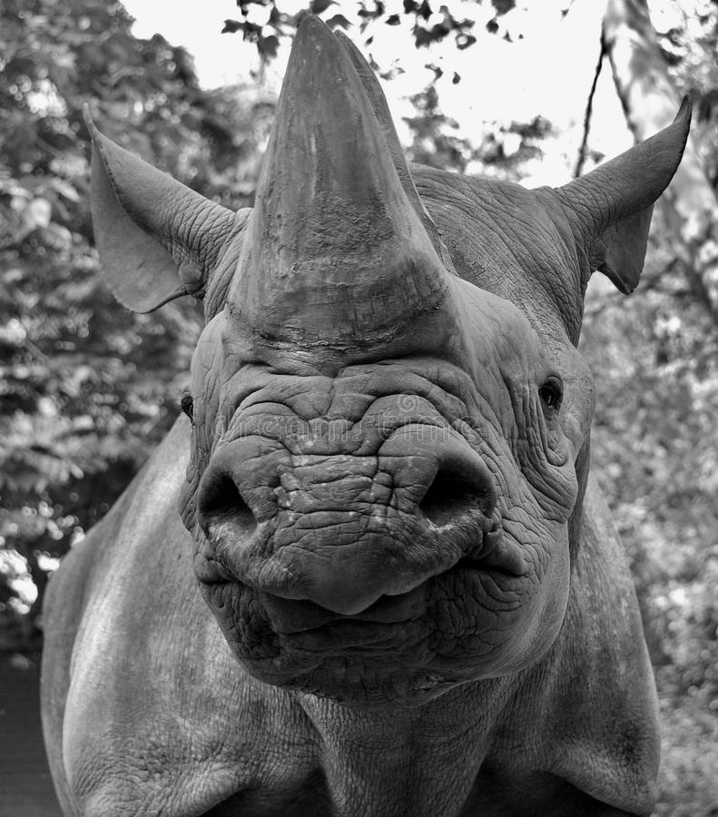 The black rhinoceros or hook-lipped rhinoceros. Diceros bicornis, is a species of rhinoceros, native to the eastern and central areas of Africa royalty free stock photography