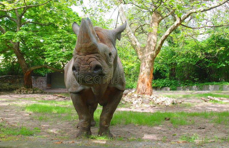 The black rhinoceros or hook-lipped rhinoceros. Diceros bicornis, is a species of rhinoceros, native to the eastern and central areas of Africa stock image