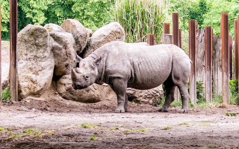 The black rhinoceros or hook-lipped rhinoceros Diceros bicornis standing near rock pile. It is a species of rhino, native to eastern and southern Africa and is royalty free stock images