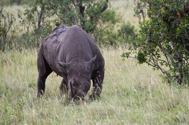 Download Black Rhinoceros In The Masai Mara Game Reserve Royalty Free Stock Image - Image: 20795976